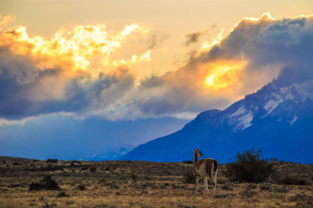 Sunset view with Guanaco in Torres del Paine