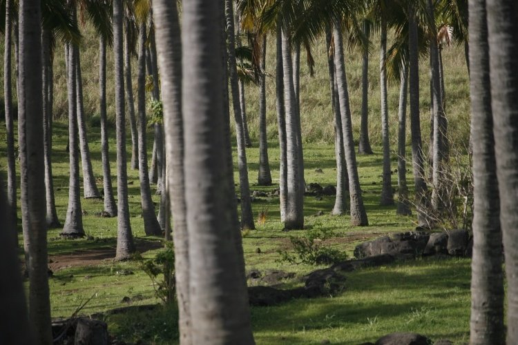 easter island palm forest